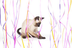 Siamese kitten playing with ribbon Stock Photos