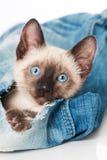 Siamese kitten Stock Images