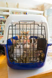 Siamese kitten ready for transport Stock Photo