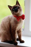 Siamese kitten in a red bow royalty free stock photo