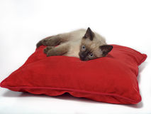 Siamese kitten on red pillow. 2 months old siamese kitten laying on red pillow. White background Royalty Free Stock Photography
