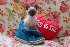 Siamese kitten in a shoe. Beautiful siamese kitten inside a shoe Royalty Free Stock Images