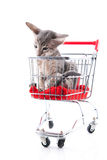 Siamese kitten in shopping cart Stock Images