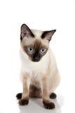 Siamese Kitten Sitting. Beautiful Siamese Cat Sitting Isolated on white background Royalty Free Stock Image
