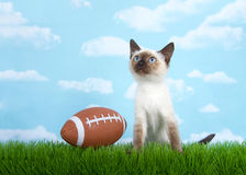 Siamese kitten sitting on grass looking up at the sky Royalty Free Stock Images