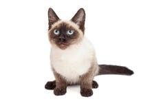 Siamese Kitten Sitting Looking Forward Royaltyfria Bilder