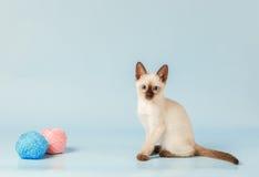 Siamese kitten sitting next to balls of yarn. Stock Image