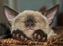 Siamese kitten sleeping with his chin on his paws Royalty Free Stock Photos