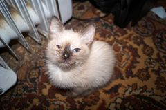 Siamese kitten with a sore eye. Siamese kitten with pus in the eye royalty free stock images