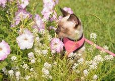 Siamese kitten in summer flowers Royalty Free Stock Photo