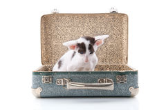 Siamese kitten in vintage suitcase Stock Photography