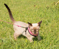 Siamese kitten walking on leash in a pink harness Stock Image