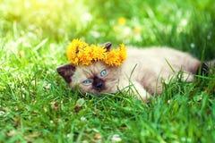 Siamese kitten wearing a crown of dandelions Stock Photos