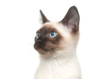 Siamese kitten on white Stock Photo