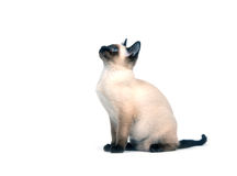 Siamese kitten on white Stock Image