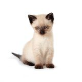 Siamese kitten Stock Photography