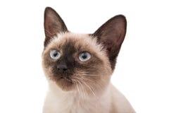 Siamese kitten. On a white background stock photography