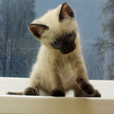 Siamese kitten on the windowsill stock images