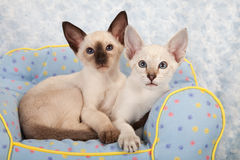 Siamese kittens Stock Photo
