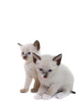 Siamese kittens Royalty Free Stock Photography