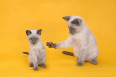 Siamese Kittens on Bright Colorful Background Stock Image