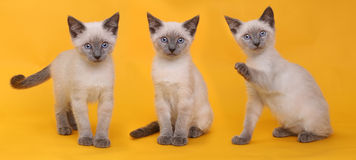 Siamese Kittens on Bright Colorful Background Royalty Free Stock Image