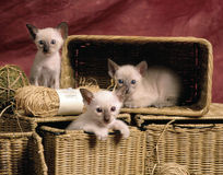 Siamese kittens. 3 siamese kittens playing in some baskets, and some hay balls, studio shot on a red background Stock Images