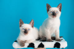 Siamese kittens sitting over blue background Stock Photo