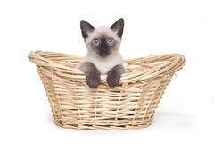 Siamese Kittens on a White Background Stock Images