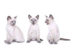 Siamese Kittens on a White Background Stock Photos