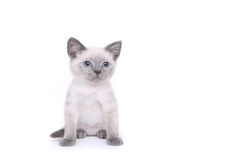 Siamese Kittens on a White Background Stock Image