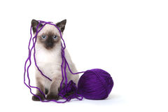 Siamese Kittens on White Background With Yarn Royalty Free Stock Photography