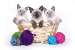 Siamese Kittens on White Background With Yarn Stock Photography