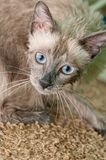 Siamese Kitty after a Bath Stock Images