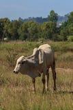 Siamese ko i ett fält Arkivfoto