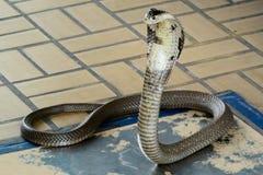 Siamese kobra Arkivfoto