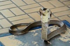 Siamese kobra Royaltyfri Foto
