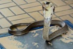 Siamese kobra Arkivbild