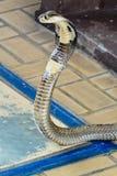 Siamese kobra Fotografering för Bildbyråer