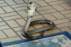 Siamese kobra Royaltyfria Bilder