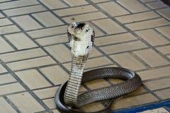 Siamese kobra Arkivfoton
