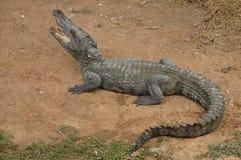 Siamese krokodil Royalty-vrije Stock Foto