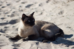 Siamese kvinnlig katt som kopplar av på den sandiga stranden royaltyfria bilder