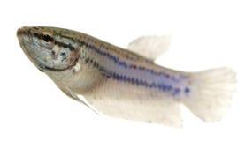 siamese kvinnligstridighetfisk royaltyfri bild