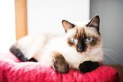 Siamese kvinnligt vila på kuddar Fotografering för Bildbyråer
