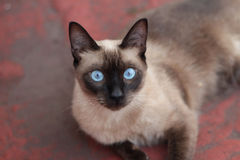 Siamese look Stock Image
