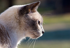 Siamese Looking Down Stock Image