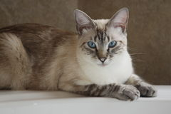 Siamese Lynx Point Cat on bathtub. Lynx Point Siamese cat with blue eyes royalty free stock photography