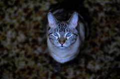 Siamese lynx-point cat. With beautiful serene blue eyes Stock Images