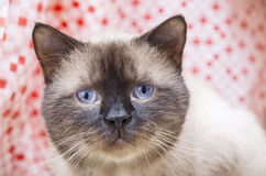 Siamese male cat with cold Stock Photography